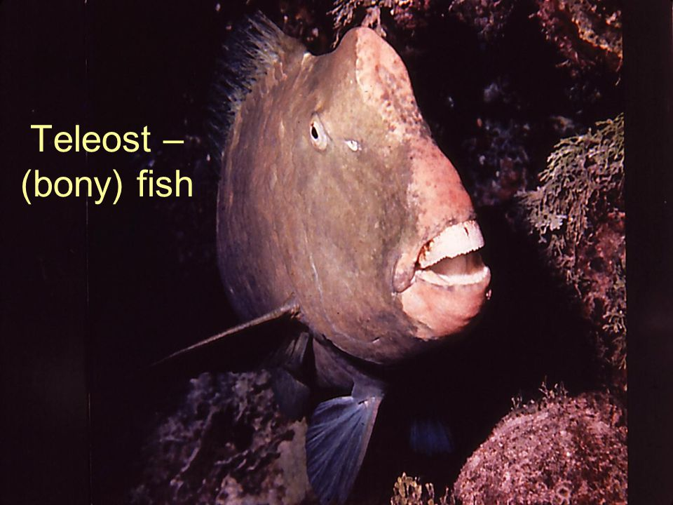 Teleost – (bony) fish