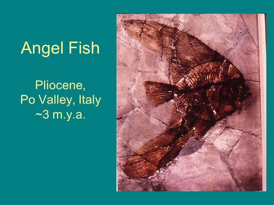 Angel Fish Pliocene, Po Valley, Italy ~3 m.y.a.