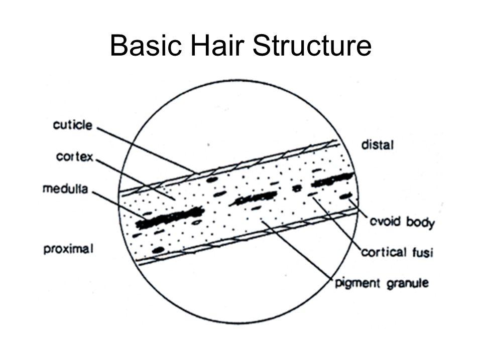 Basic Hair Structure