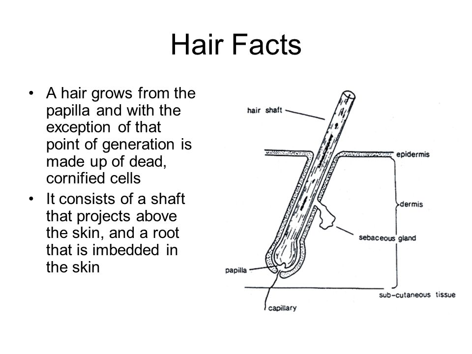Hair Facts A hair grows from the papilla and with the exception of that point of generation is made up of dead, cornified cells.