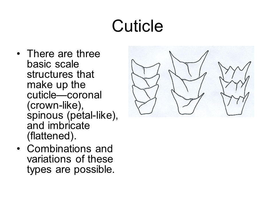 Cuticle There are three basic scale structures that make up the cuticle—coronal (crown-like), spinous (petal-like), and imbricate (flattened).