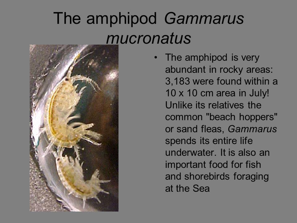 The amphipod Gammarus mucronatus