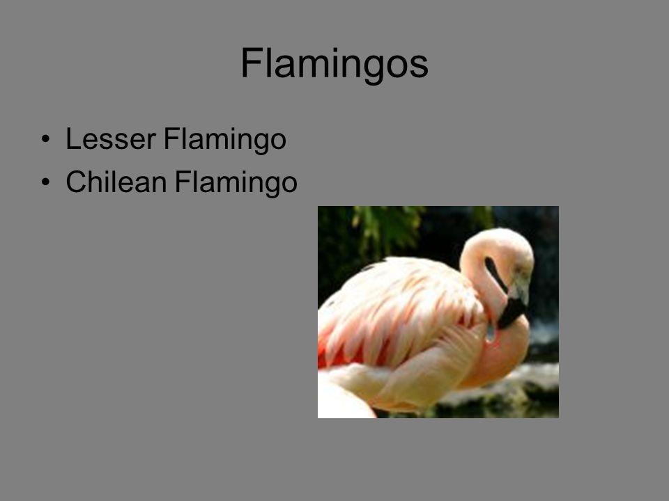Flamingos Lesser Flamingo Chilean Flamingo