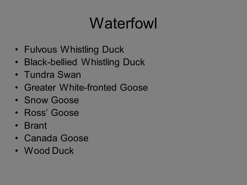 Waterfowl Fulvous Whistling Duck Black-bellied Whistling Duck