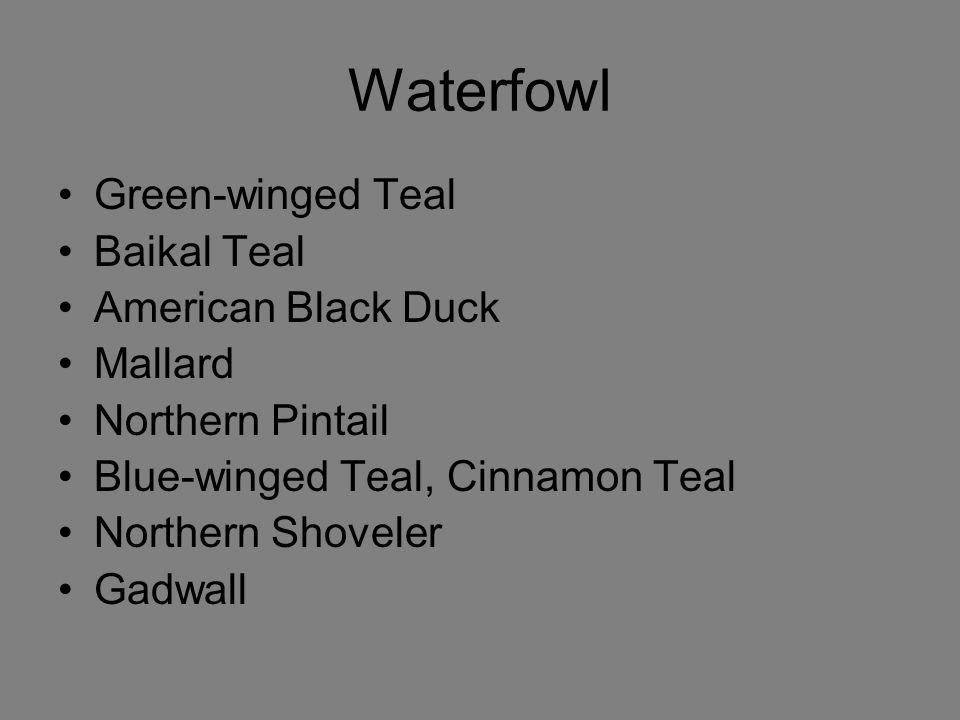 Waterfowl Green-winged Teal Baikal Teal American Black Duck Mallard