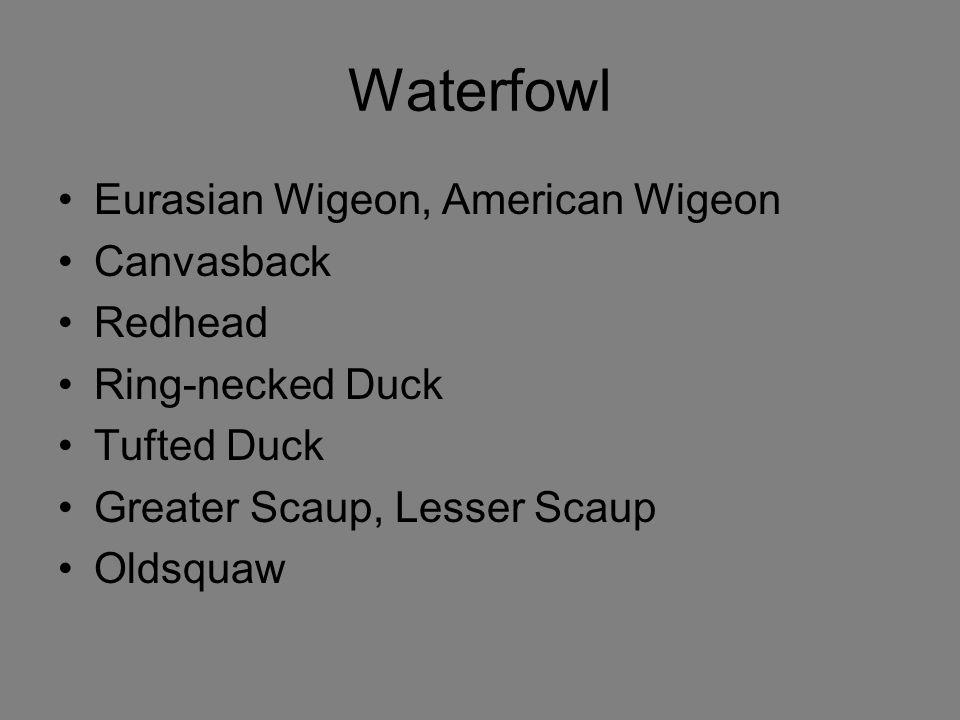 Waterfowl Eurasian Wigeon, American Wigeon Canvasback Redhead