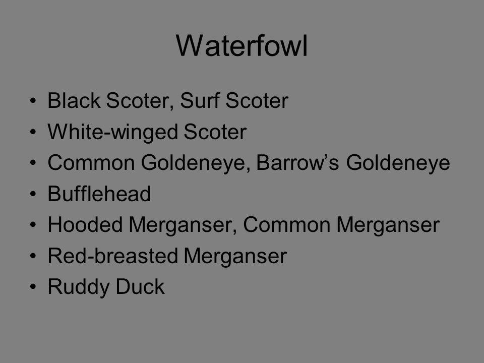 Waterfowl Black Scoter, Surf Scoter White-winged Scoter