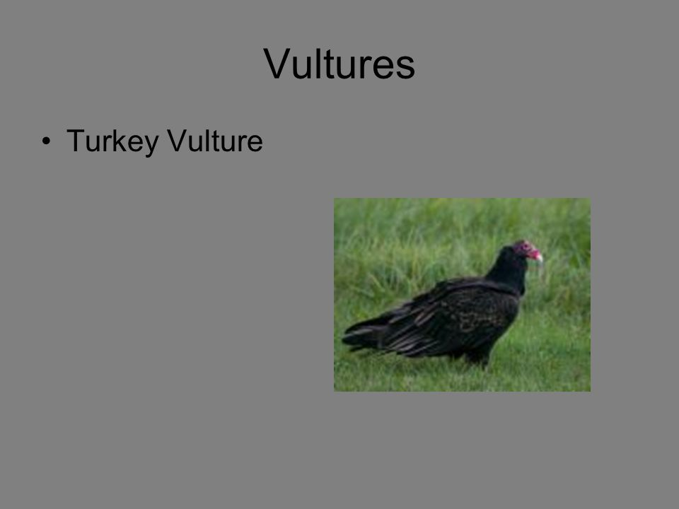 Vultures Turkey Vulture