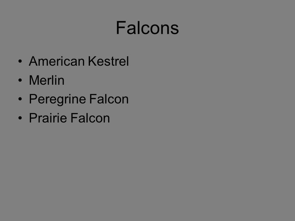 Falcons American Kestrel Merlin Peregrine Falcon Prairie Falcon