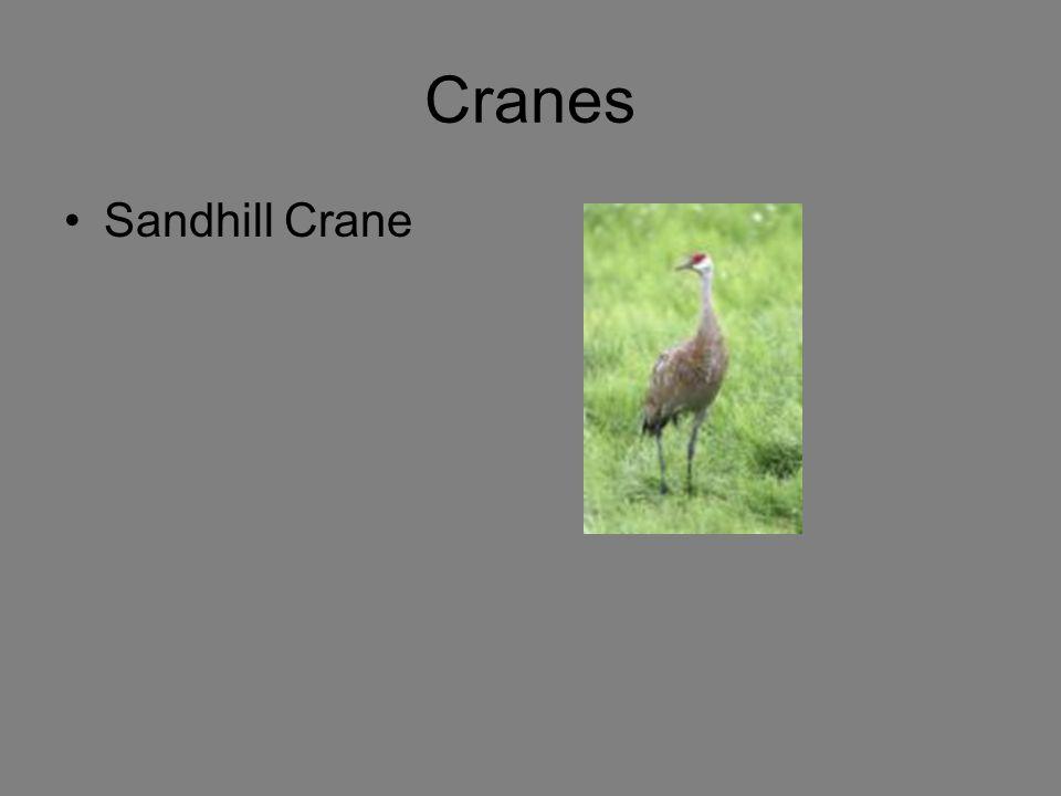 Cranes Sandhill Crane