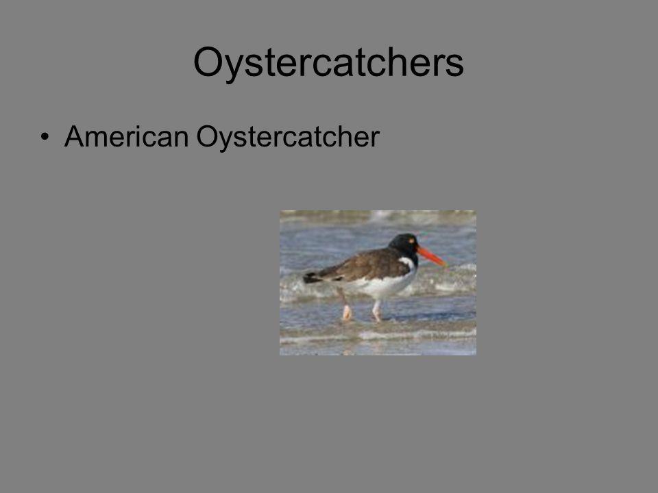 Oystercatchers American Oystercatcher