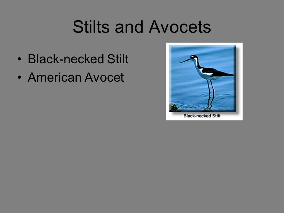 Stilts and Avocets Black-necked Stilt American Avocet