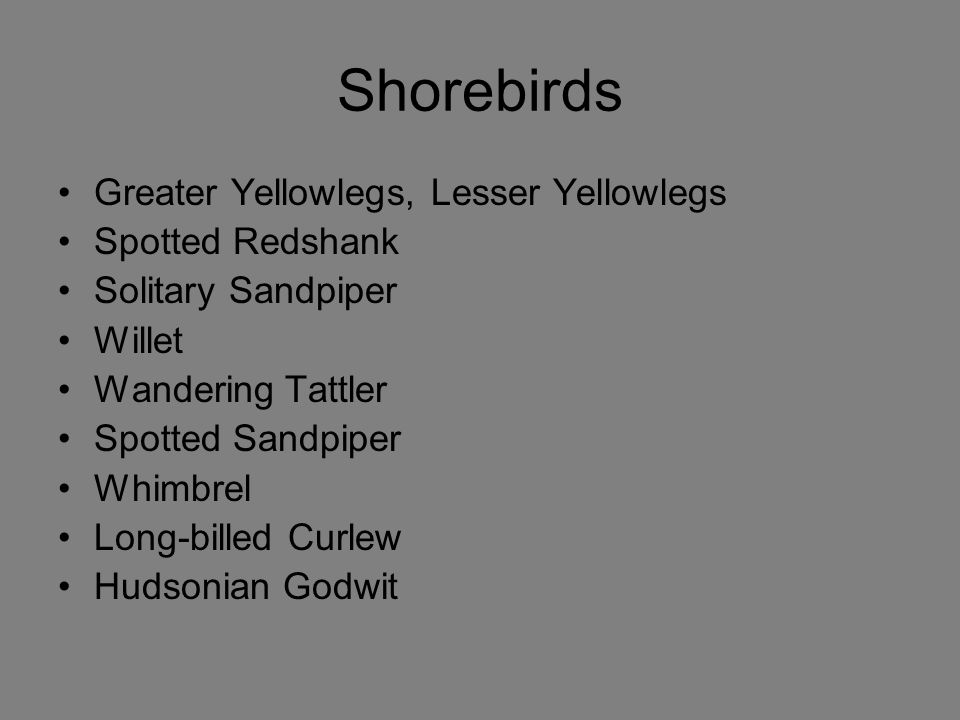 Shorebirds Greater Yellowlegs, Lesser Yellowlegs Spotted Redshank