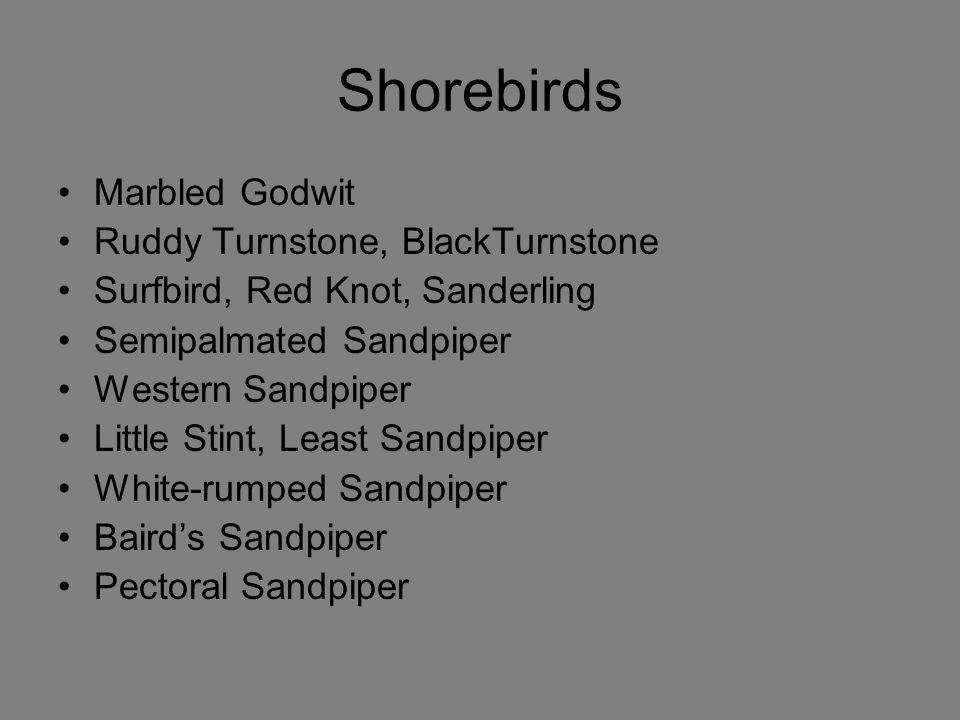Shorebirds Marbled Godwit Ruddy Turnstone, BlackTurnstone