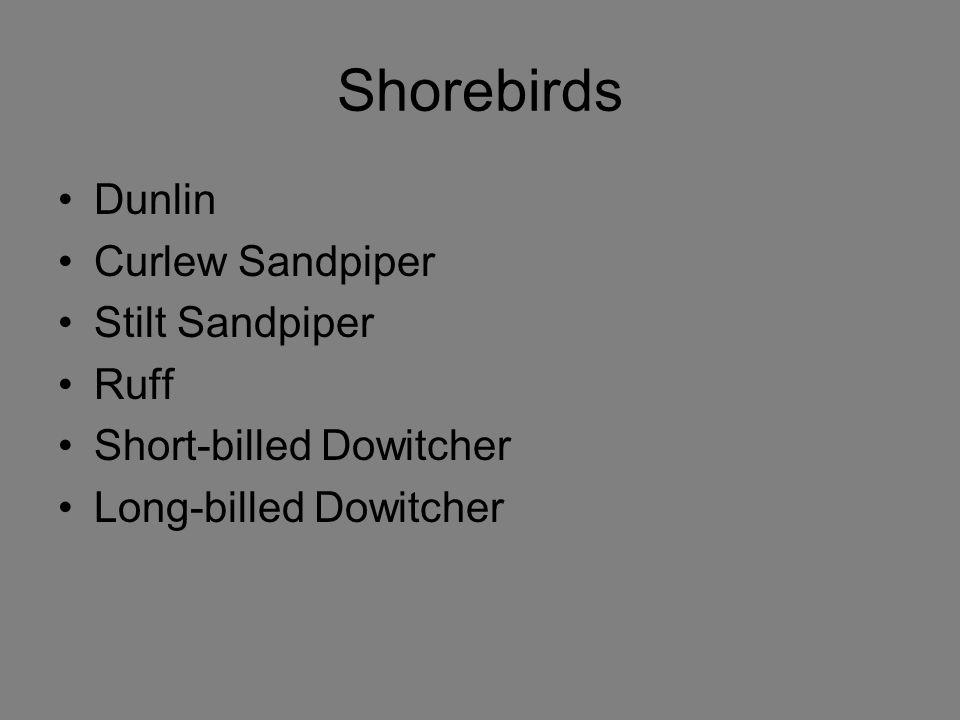 Shorebirds Dunlin Curlew Sandpiper Stilt Sandpiper Ruff