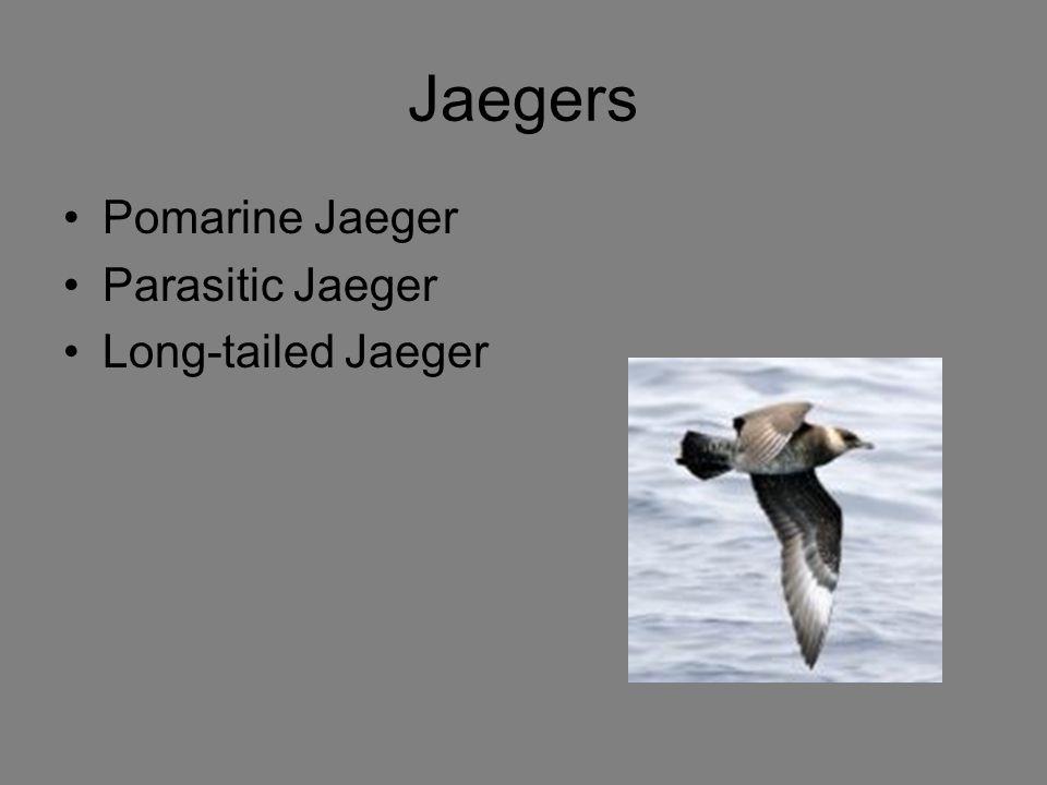 Jaegers Pomarine Jaeger Parasitic Jaeger Long-tailed Jaeger