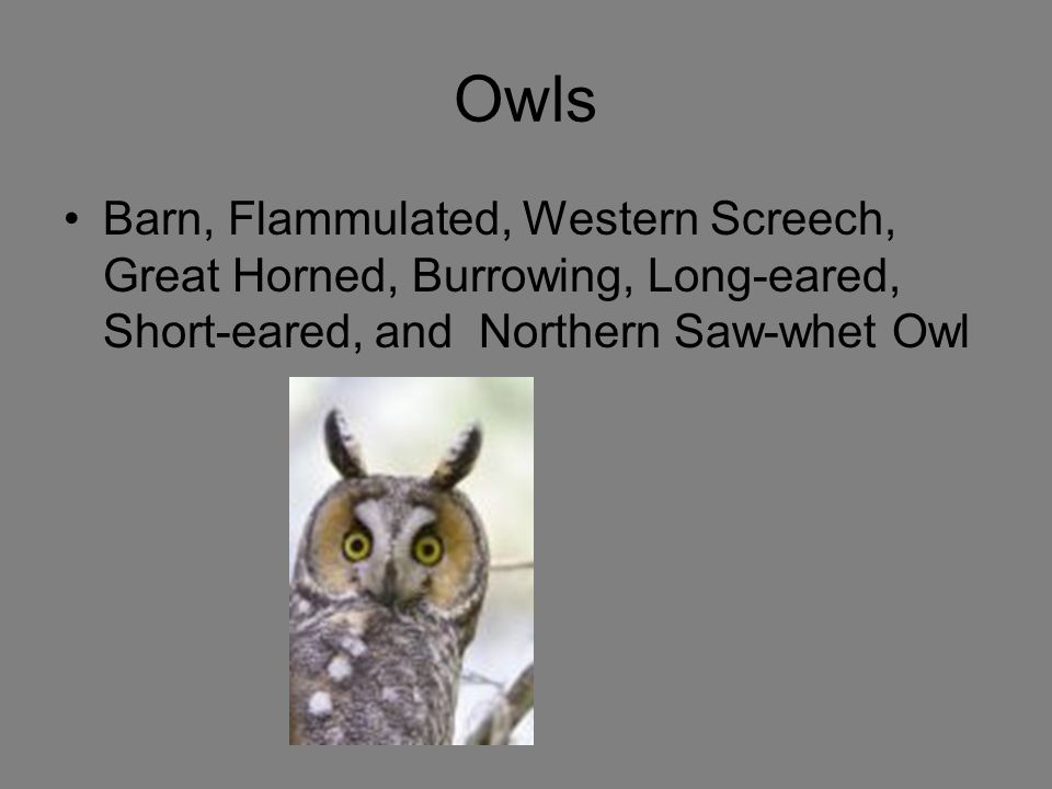 Owls Barn, Flammulated, Western Screech, Great Horned, Burrowing, Long-eared, Short-eared, and Northern Saw-whet Owl.