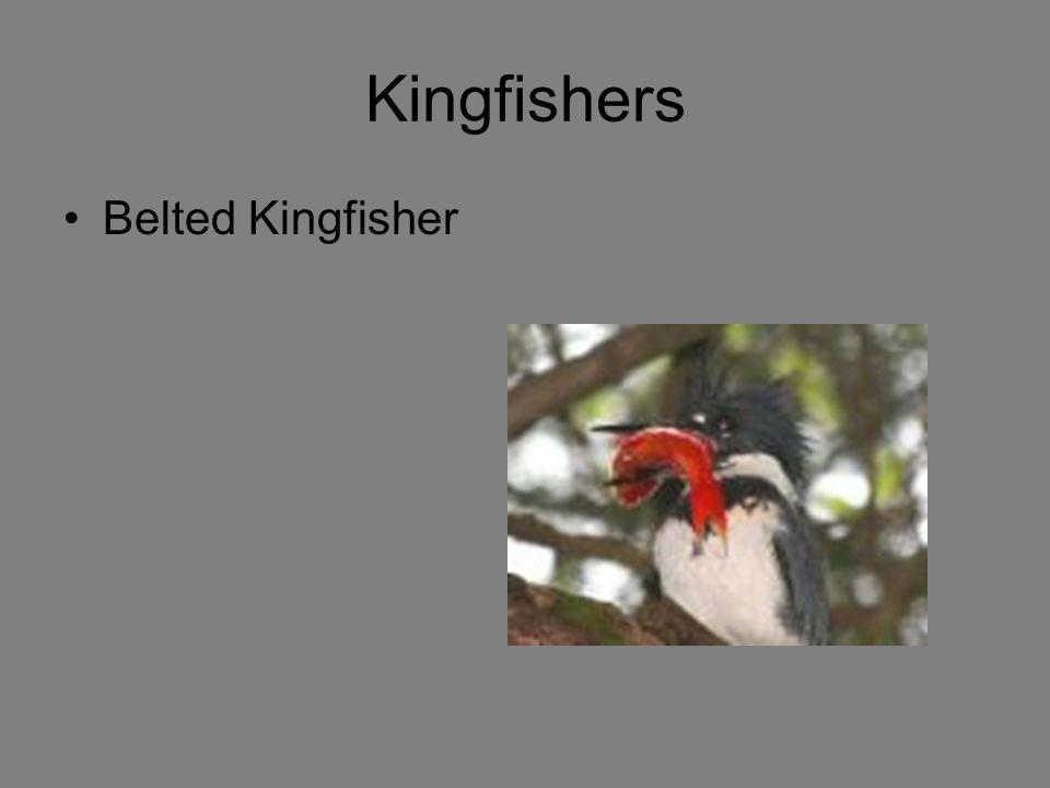 Kingfishers Belted Kingfisher