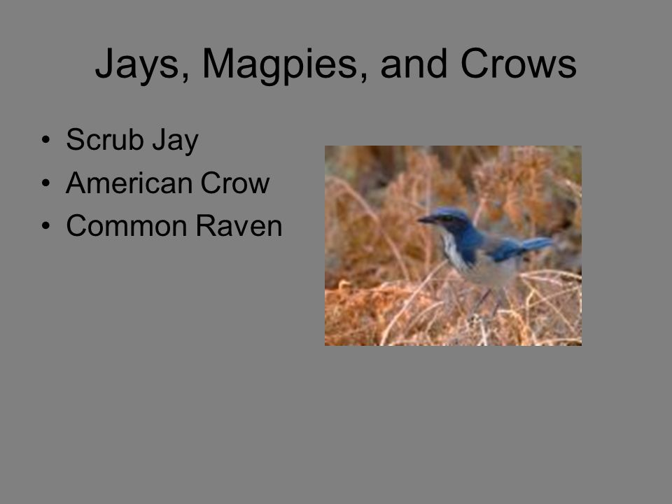 Jays, Magpies, and Crows Scrub Jay American Crow Common Raven