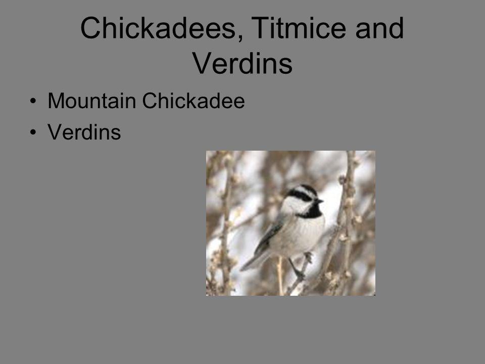 Chickadees, Titmice and Verdins