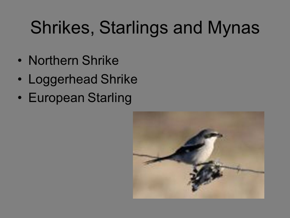 Shrikes, Starlings and Mynas