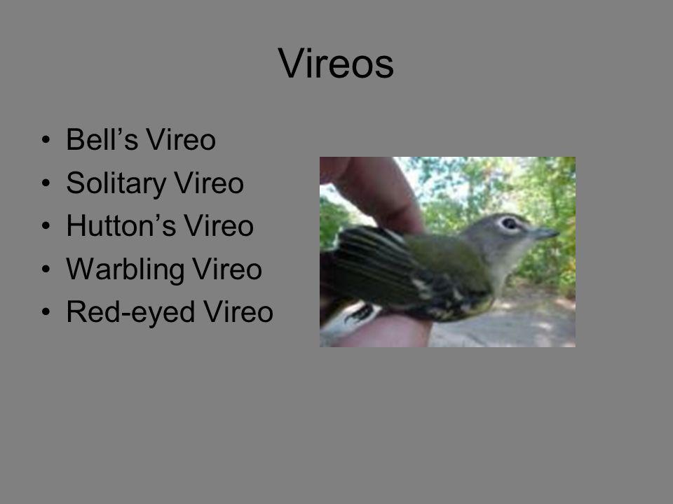 Vireos Bell's Vireo Solitary Vireo Hutton's Vireo Warbling Vireo