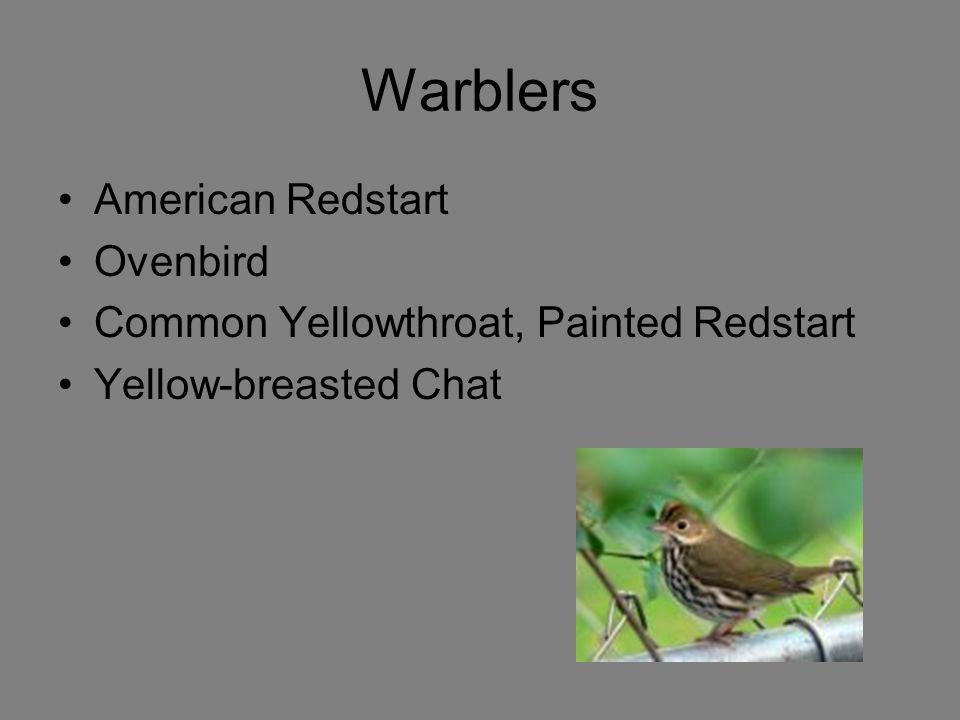Warblers American Redstart Ovenbird