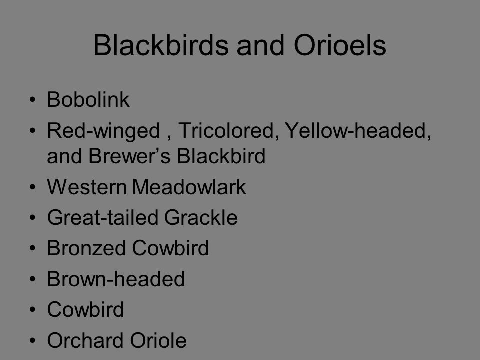 Blackbirds and Orioels