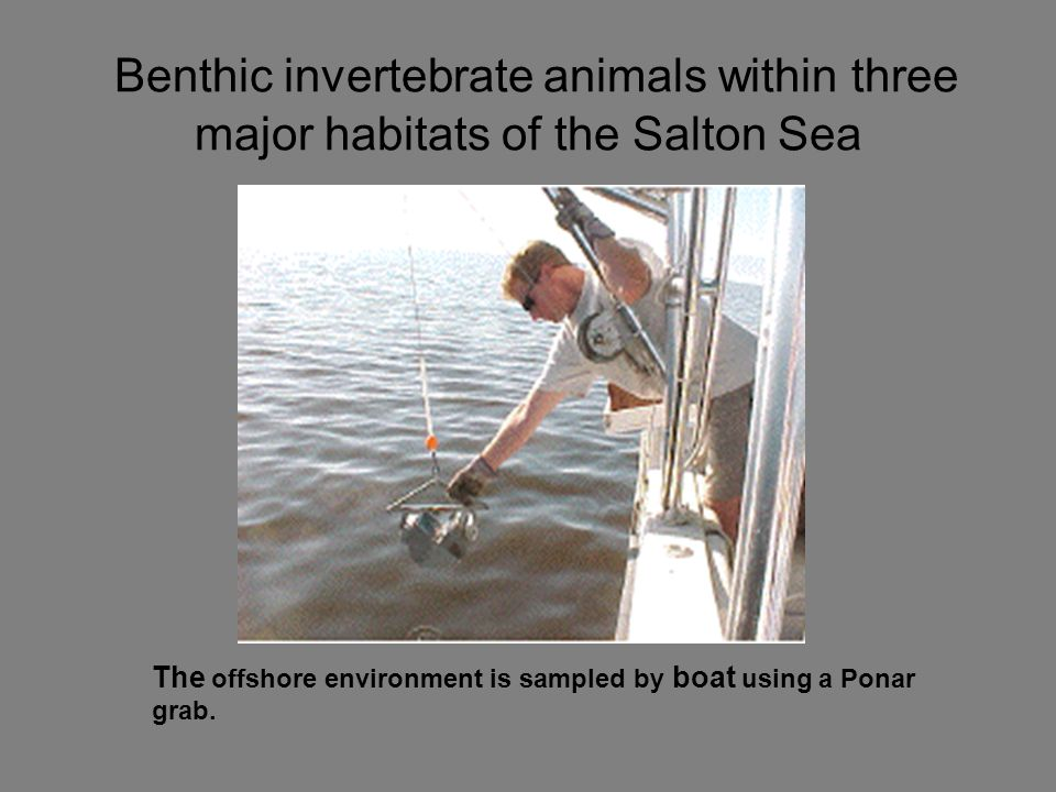 Benthic invertebrate animals within three major habitats of the Salton Sea