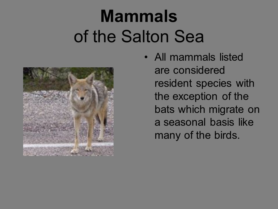 Mammals of the Salton Sea