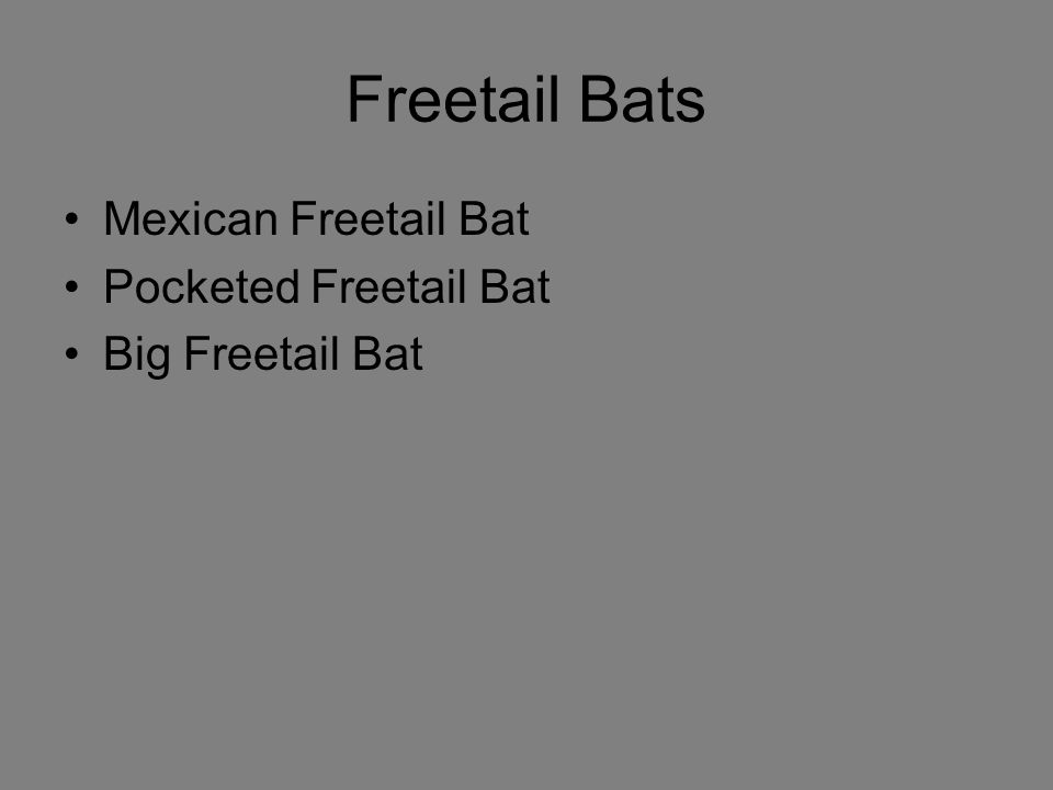 Freetail Bats Mexican Freetail Bat Pocketed Freetail Bat