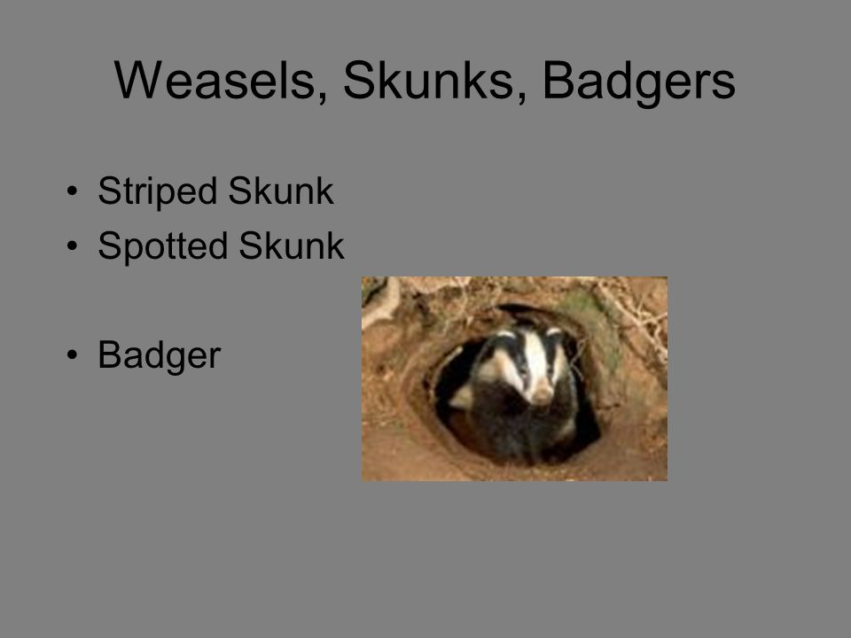 Weasels, Skunks, Badgers
