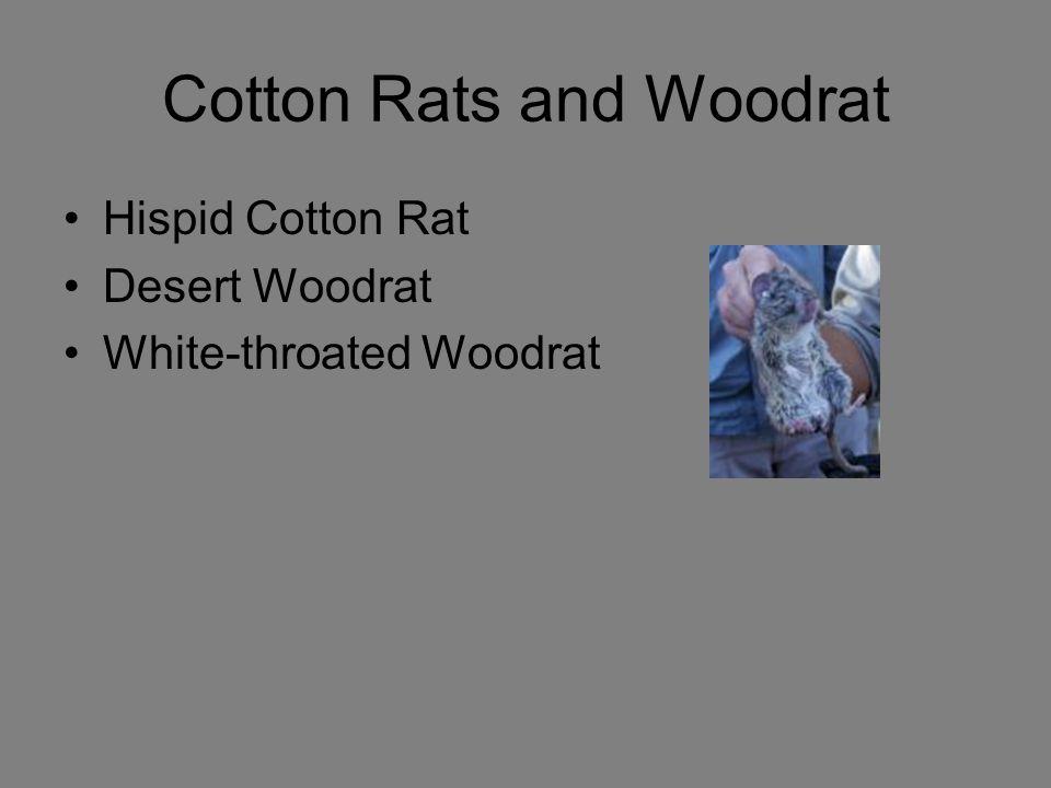 Cotton Rats and Woodrat