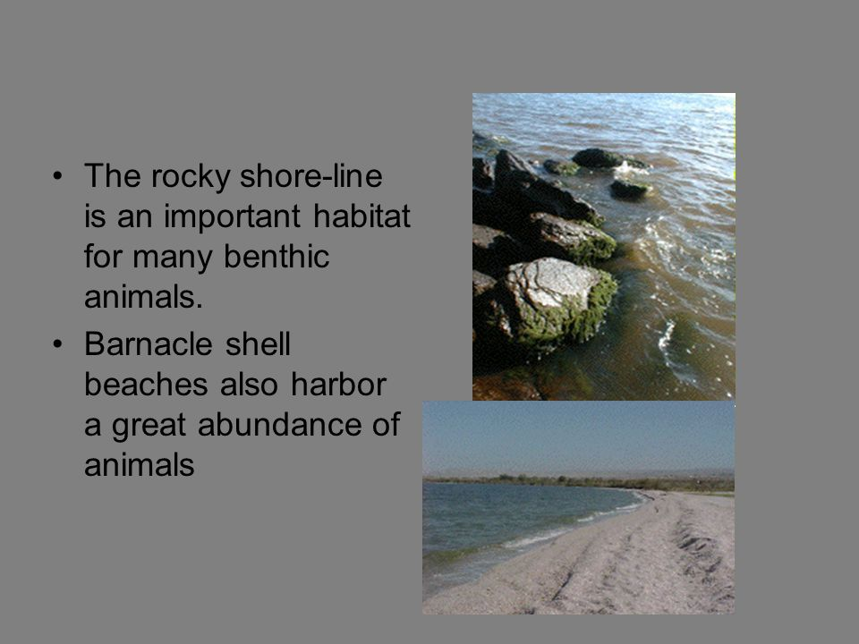 The rocky shore-line is an important habitat for many benthic animals.