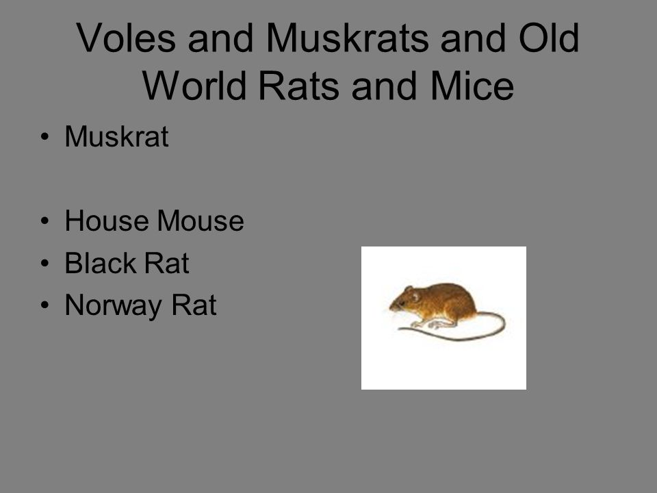 Voles and Muskrats and Old World Rats and Mice