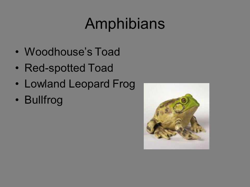 Amphibians Woodhouse's Toad Red-spotted Toad Lowland Leopard Frog
