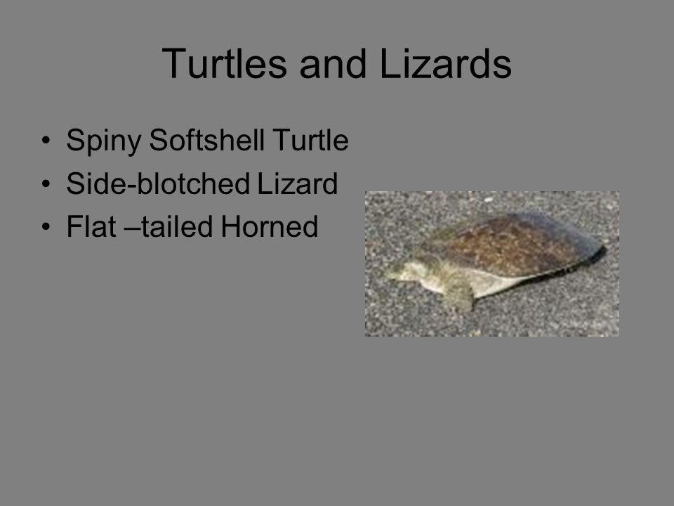 Turtles and Lizards Spiny Softshell Turtle Side-blotched Lizard