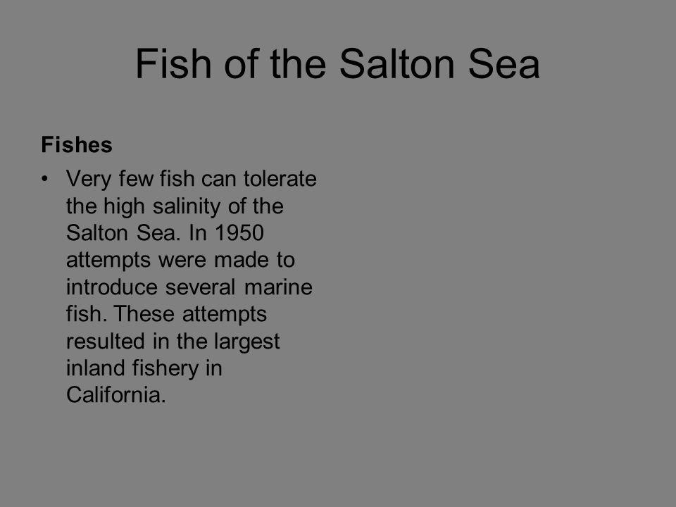 Fish of the Salton Sea Fishes
