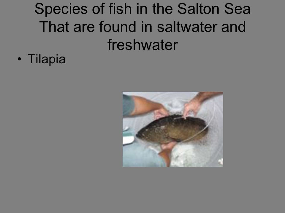 Species of fish in the Salton Sea That are found in saltwater and freshwater
