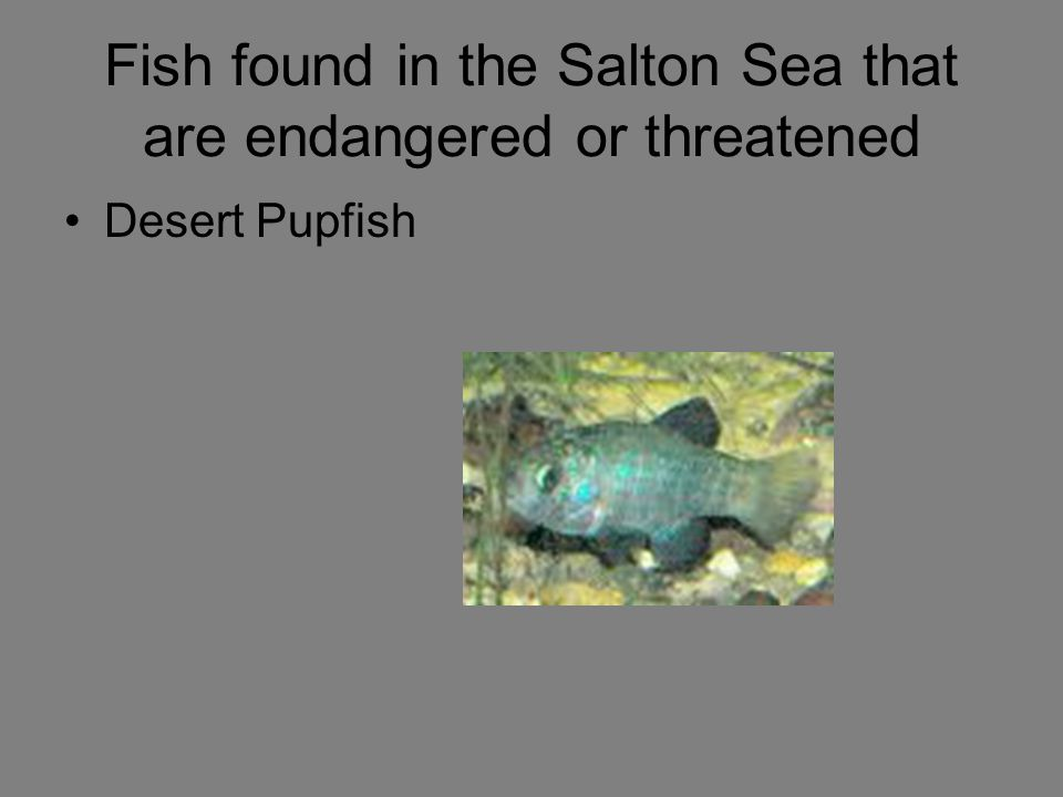 Fish found in the Salton Sea that are endangered or threatened