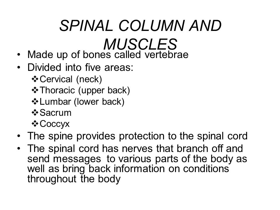 SPINAL COLUMN AND MUSCLES