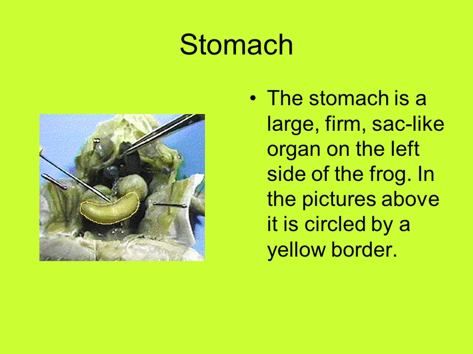 Stomach The stomach is a large, firm, sac-like organ on the left side of the frog.