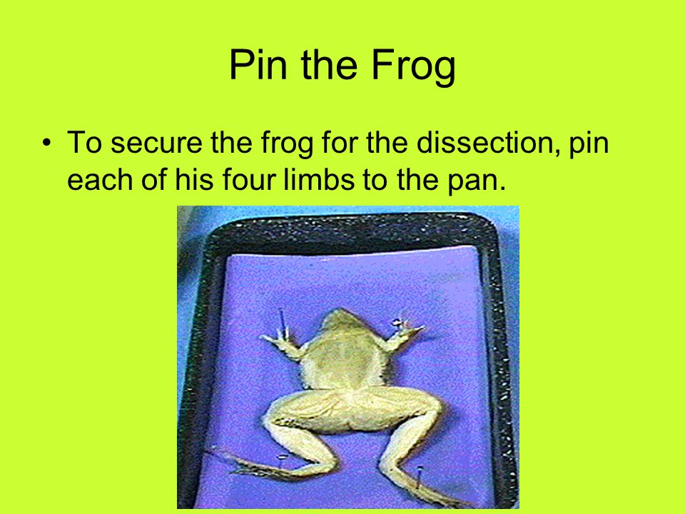 Pin the Frog To secure the frog for the dissection, pin each of his four limbs to the pan.