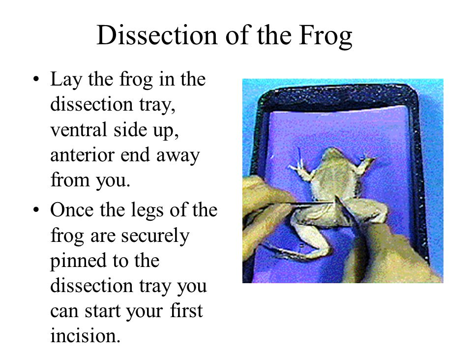 Dissection of the Frog Lay the frog in the dissection tray, ventral side up, anterior end away from you.