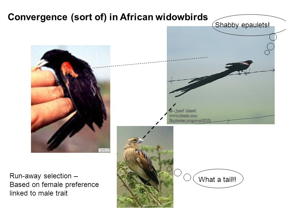 Convergence (sort of) in African widowbirds