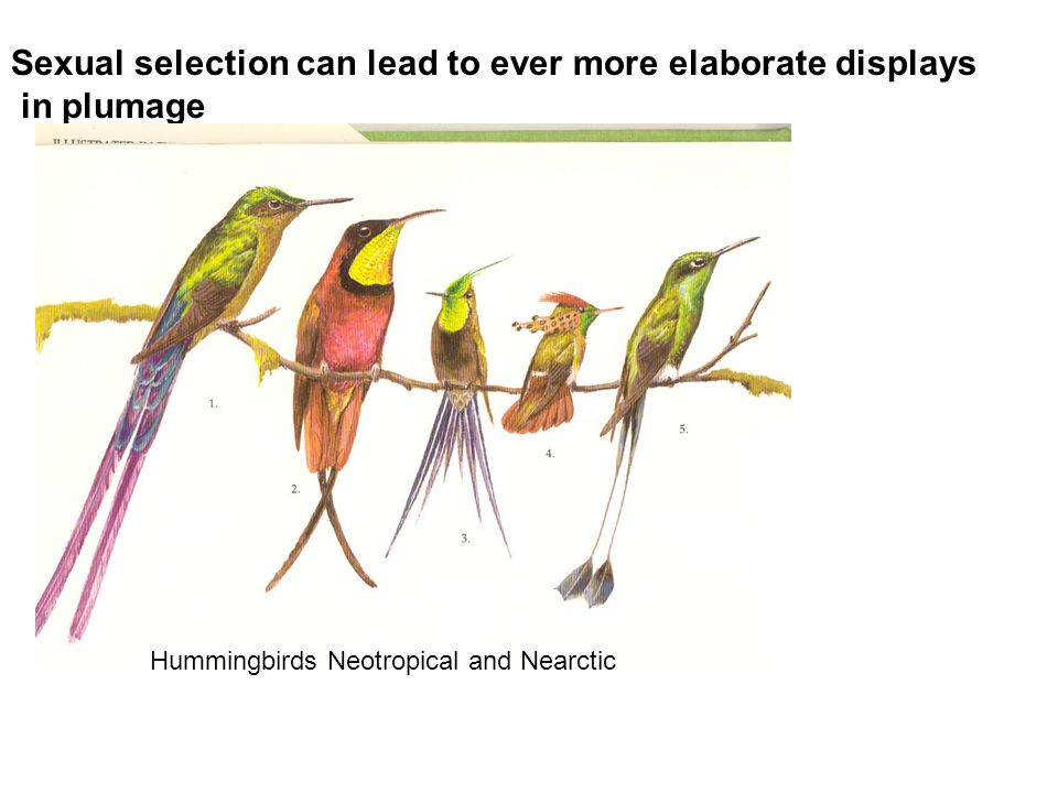 Sexual selection can lead to ever more elaborate displays in plumage