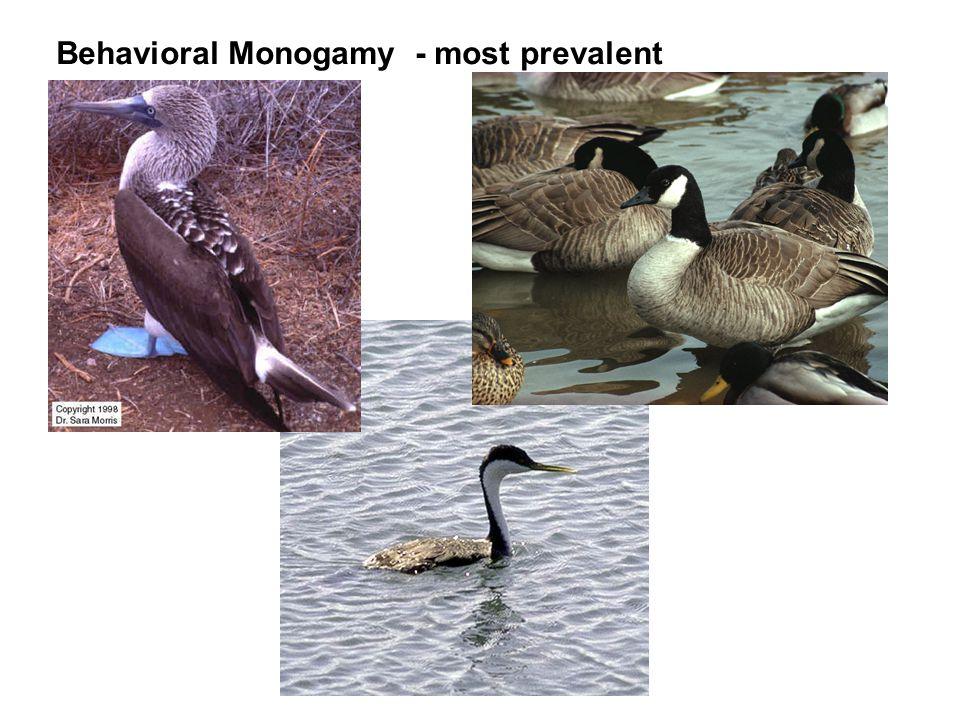Behavioral Monogamy - most prevalent