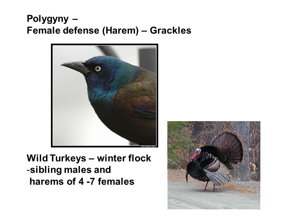 Polygyny – Female defense (Harem) – Grackles. Wild Turkeys – winter flock.