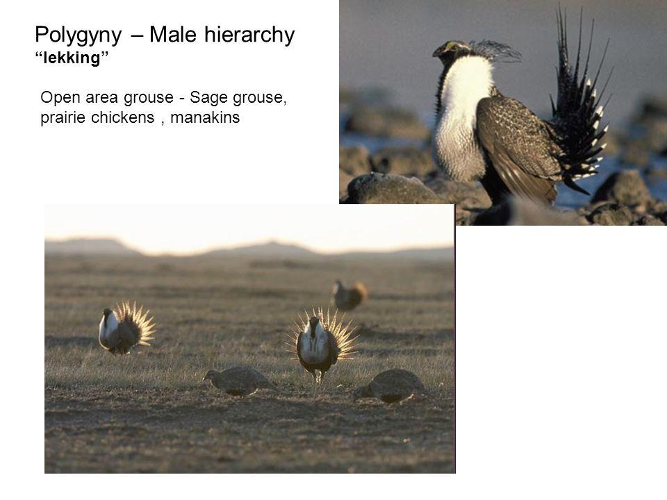 Polygyny – Male hierarchy