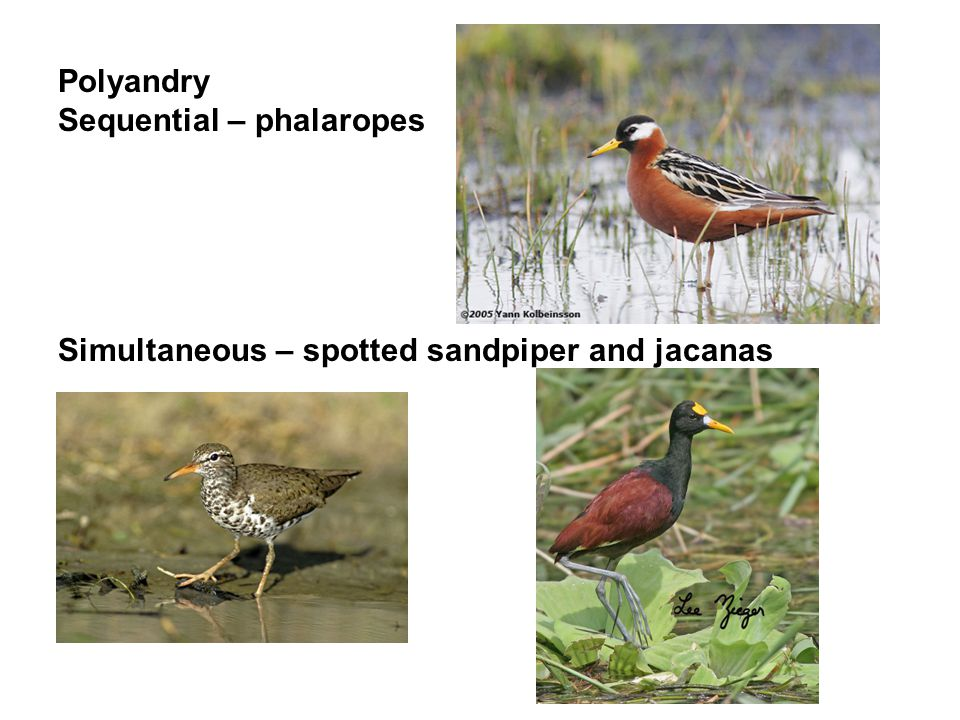 Polyandry Sequential – phalaropes Simultaneous – spotted sandpiper and jacanas